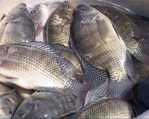 Vietnam approved the development plan for tilapia farming by 2020